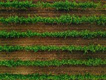 Aerial view over vineyard fields in Italy. Rows of grape vines. Top view stock photo