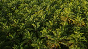 Aerial View. Palm oil plantation in Krabi province, Thailand stock video