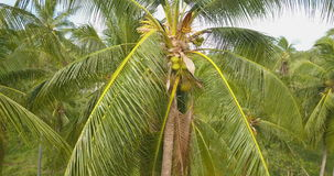 Aerial View of Palm Tree Crowns stock video footage