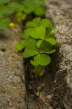 Aerial view of a patch of green clovers Stock Photos