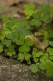 Aerial view of a patch of green clovers Stock Images