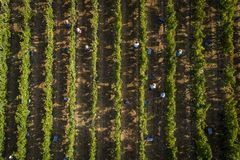 Aerial view of people picking grapes in a vineyard in Alentejo royalty free stock images