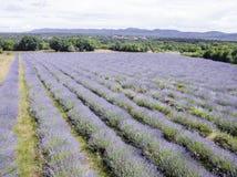 Aerial view of lavender field in full blooming season in diagonal rows stock images