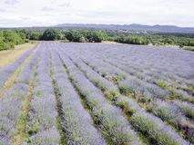 Aerial view of lavender field in full blooming season in diagonal rows royalty free stock photography