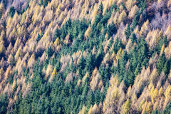 Aerial view of a pine and larch forest. Stock Images