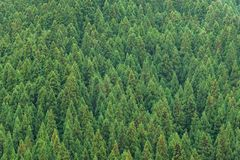 Aerial view of pine trees forest. Aerial view of pine trees forest during autumn season in Japan Stock Photo