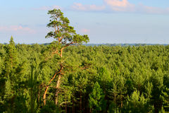 Aerial view of scots or scotch pine Pinus sylvestris tree forest.. Stock Images