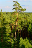 Aerial view of scots or scotch pine Pinus sylvestris tree forest. Stock Image