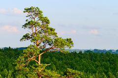 Aerial view of scots or scotch pine Pinus sylvestris tree forest.. Stock Photography