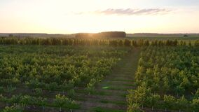 Aerial view of blooming apple orchard against of the sunset warm rays