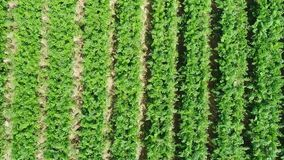 Aerial view of plantation field stock video footage