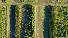 Aerial view planting young trees. Ecological concept. Photo from the drone. Aerial view young trees, growing trees on plantations for gardening and renewal of stock photo