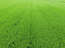 Aerial view of rice field Stock Photography