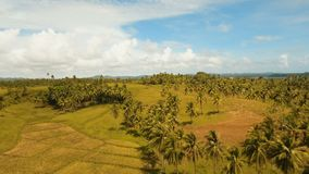 Aerial view of a rice field. Philippines, Siargao. Rice field with yellowish green grass, blue sky, cloud. Tropical landscape with palm trees and hills. Aerial stock footage
