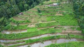 Aerial view rice fields stock footage