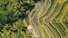 Aerial view of Rice Terrace field taken in Tegallalang, Bali Indonesia stock footage