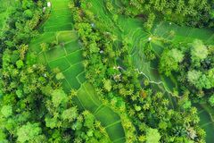 Aerial view of rice terraces. Landscape with drone. Agricultural landscape from the air. Rice terraces in the summer. UNESCO World. Heritage - Jatiluwih rise stock photos