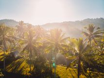 Aerial view of rise terraces with tropical coconut palms in Bali. Aerial view of rise terraces with coconut palms in Bali stock photo