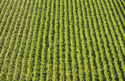 Aerial view rows of grape vines vineyard Mornington Peninsula Victoria Australia Royalty Free Stock Images