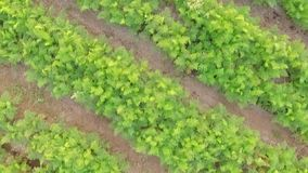 AERIAL VIEW. Rows Of Green Carrot Tops In The stock video