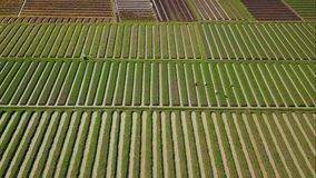 Aerial view of rows of red onion farmland stock video footage