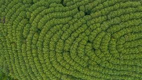 Aerial view rubber tree forest, Top view of rubber tree and leaf stock images