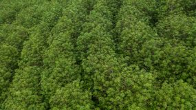 Aerial view rubber tree forest, Top view of rubber tree and leaf royalty free stock image