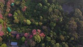 Aerial view Sakura or Cherry Blossom in Chiangmai, Thailand.