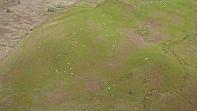 Aerial view of the scottish highlands with sheep on a hill. Between Oban and Taynuilt, Argyll, Scotland stock video footage