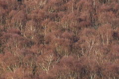Aerial view of silver birch forest in Winter Royalty Free Stock Image