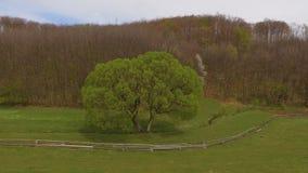 Aerial view single tree in green meadow. 4k stock footage