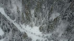 Aerial view of a skier moving through a forest among pine trees. Birds Eye View Above White Powder Snow - Winter Sports stock video