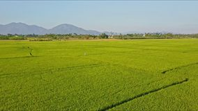 Aerial view small figure plays among green rice fields. Aerial view small figure in white plays among green rice fields against trees distant mountains and blue stock video