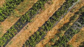 Aerial view at strawberry plantation. Aerial view at strawberry field. Growth and care strawberry for sale at the countryside place. Beautiful view at big stock video footage