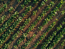 Aerial view of sugar beet field, drone pov top view. Aerial view of cultivated agricultural sugar beet field, drone pov top view Stock Photo