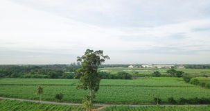 Aerial view of Sugarcane or agriculture in rural Thailand stock video