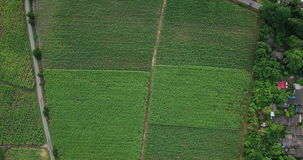Aerial view of Sugarcane or agriculture in rural Thailand stock footage
