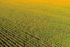 Aerial view of the sunflower field Royalty Free Stock Photography
