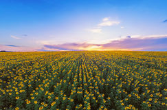 Aerial view of sunflowers field . Wide angle. GoPro shot. Aerial view of sunflowers field . Wide angle. GoPro, sunrise shot Stock Image