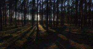 Aerial view of sunlight through the trees in pine forest at sunset.  stock video