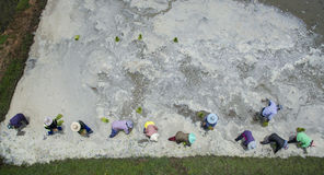 Aerial view of thai farmer planting young rice paddy in agricult Royalty Free Stock Photo