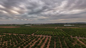 Aerial view time lapse of orange tree field stock video