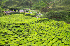Aerial view to tea plantation Stock Image