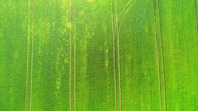 Aerial view top. Flying over a field of green wheat on a bright Sunny day. In the middle of the field two big trees. Aerial view top. Flying over a field of stock footage