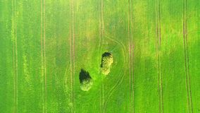 Aerial view top. Flying over a field of green wheat on a bright Sunny day. In the middle of the field two big trees. Aerial view top. Flying over a field of stock video footage