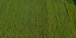 Sugarcane or agriculture in rural Ban Pong, Ratchaburi, Thailand. Aerial view or top view of Sugarcane or agriculture in rural Ban Pong, Ratchaburi, Thailand Royalty Free Stock Photo