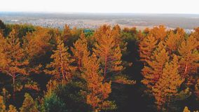 Aerial view of tops of pine forest. stock video footage
