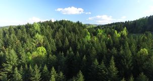 Aerial view. Tops tall fir trees on mountainside stock video