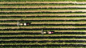 Aerial view of a tractor harvesting grapes in a vineyard. Farmer spraying grape vines with tractor.  stock photo