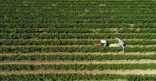 Aerial view of a tractor harvesting grapes in a vineyard. Farmer spraying grape vines with tractor.  royalty free stock photo